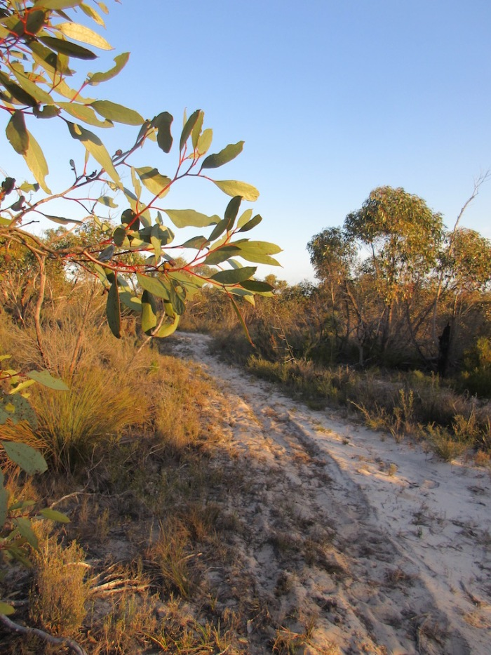 Morning sun through the yellow gums on the trail