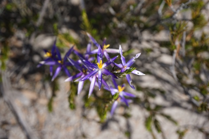 Blue tinsel lily (Calectasia intermedia)